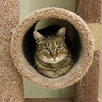Domestic Shorthair Cat for adoption in Westbury, New York - Sweetie