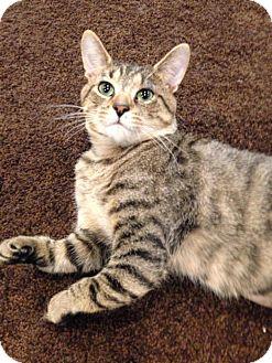 Domestic Mediumhair Cat for adoption in Apex, North Carolina - Jackrabbit Joe