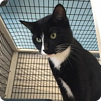 Domestic Shorthair Cat for adoption in Denver, Colorado - Archer