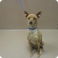 Adopt A Pet :: Cinnamon - Reno, NV