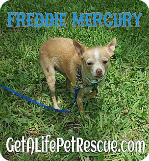Chihuahua Dog for adoption in Wellington, Florida - Freddie Mercury