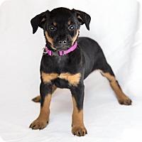 Adopt A Pet :: Lima - Arlington, VA