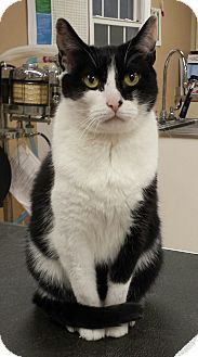 Domestic Shorthair Cat for adoption in Mt. Airy, North Carolina - Tinker