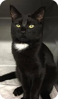 Domestic Shorthair Kitten for adoption in Voorhees, New Jersey - Ricky Bobby-PetValu Voorhees
