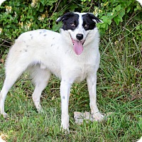 Border Collie/Collie Mix Dog for adoption in Bristol, Tennessee - Andy