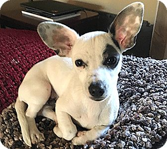 Chihuahua Mix Puppy for adoption in Oakland, California - George
