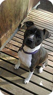 Pit Bull Terrier/Boxer Mix Dog for adoption in Kingston, Washington - Diva