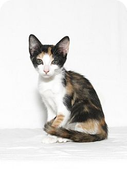 Domestic Shorthair Kitten for adoption in Lufkin, Texas - Penelope
