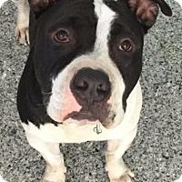 Adopt A Pet :: COURTESY LISTING: BRUTUS - San Diego, CA