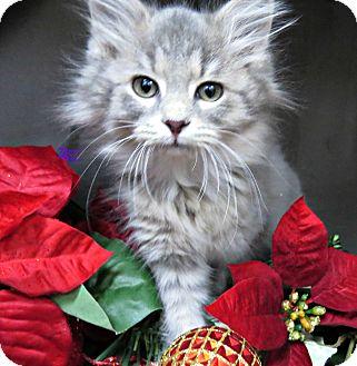 Norwegian Forest Cat Kitten for adoption in Arlington, Virginia - POGO -ADOPTION PENDING