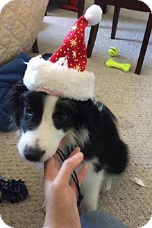 Border Collie Puppy for adoption in Tampa, Florida - Debbie