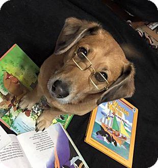 Dachshund/Corgi Mix Dog for adoption in Great Bend, Kansas - Beemer