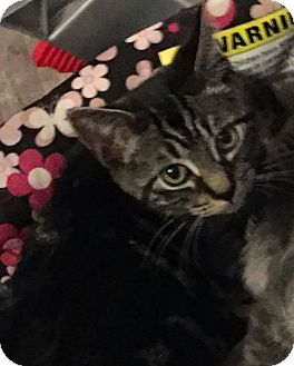 Domestic Shorthair Kitten for adoption in Stafford, Virginia - Zorro