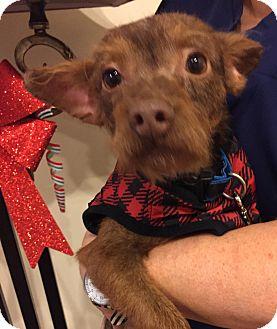 Terrier (Unknown Type, Medium) Mix Dog for adoption in San Juan Capistrano, California - DARBY