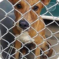 Adopt A Pet :: Sherlock - Boulder, CO