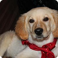 Adopt A Pet :: Chase - Burlington, VT
