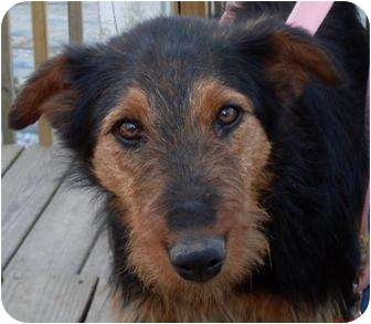 Airedale Terrier/Australian Shepherd Mix Dog for adoption in Harrison, Arkansas - Ariel