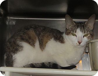 Domestic Shorthair Cat for adoption in Geneseo, Illinois - Zoe