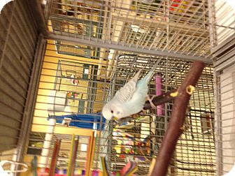 Parakeet - Other for adoption in Punta Gorda, Florida - Gorgi