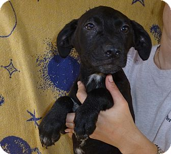 Labrador Retriever Mix Puppy for adoption in Oviedo, Florida - Tommy