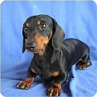 Adopt A Pet :: Augie Doggie - Tucson, AZ