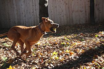 American Staffordshire Terrier/Briard Mix Dog for adoption in Madison, Wisconsin - Dudley