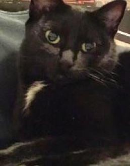 Domestic Shorthair Cat for adoption in Livonia, Michigan - Luna