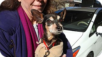 Miniature Pinscher Mix Dog for adoption in Phoenix, Arizona - Teddy