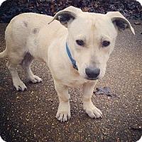 Adopt A Pet :: Beau-Beau - Munford, TN