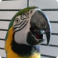 Adopt A Pet :: Sheena - Grandview, MO