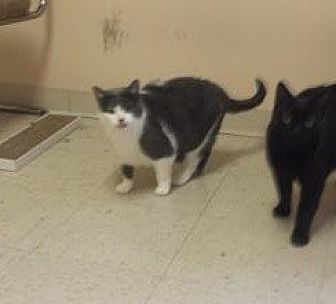 Domestic Shorthair Cat for adoption in Akron, Ohio - $$ sponsored Tatum and Solo