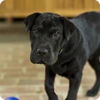 Adopt A Pet :: Shadow - Baton Rouge, LA
