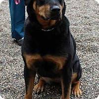 Adopt A Pet :: Sasha the Rottie D3162 - Shakopee, MN