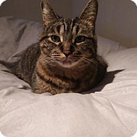 Adopt A Pet :: Sassy  (FIV+) - Sterling Heights, MI