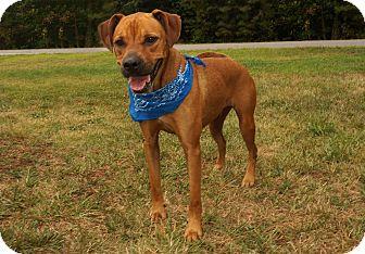 Rhodesian Ridgeback/Boxer Mix Dog for adoption in Lexington, North Carolina - Bruno