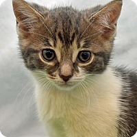British Shorthair Kitten for adoption in Greenfield, Indiana - Kate
