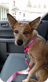 Australian Cattle Dog Mix Dog for adoption in Fountain Valley, California - Raven