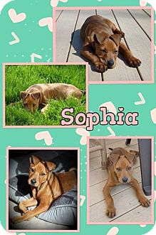 Shar Pei Mix Dog for adoption in Mauston, Wisconsin - Sophia