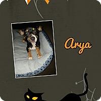 Adopt A Pet :: Arya - Springtown, TX