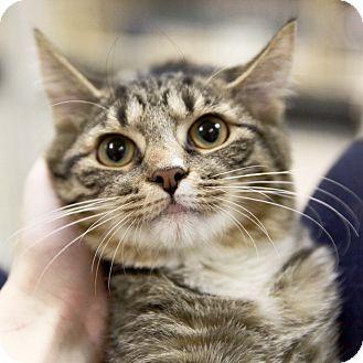 Domestic Shorthair Kitten for adoption in Kettering, Ohio - Merry-Go-Round
