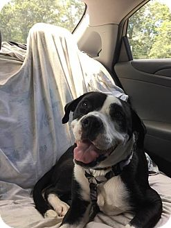 Boxer/Pit Bull Terrier Mix Dog for adoption in Monroe, North Carolina - Lucy