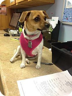 Chihuahua Mix Dog for adoption in The Dalles, Oregon - Lizzie