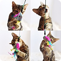 Domestic Shorthair Cat for adoption in Xenia, Ohio - Gabbie