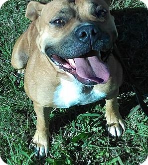 American Pit Bull Terrier Mix Dog for adoption in Claremore, Oklahoma - Piggy
