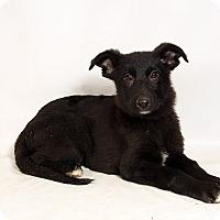 Adopt A Pet :: Vernon Shepherd - St. Louis, MO
