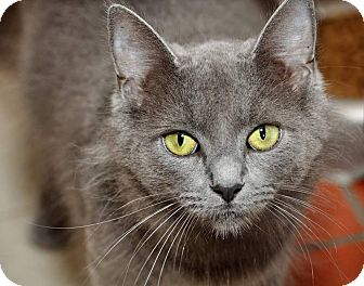 Russian Blue Cat for adoption in Griffin, Georgia - Annie
