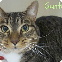 Domestic Mediumhair Cat for adoption in Menomonie, Wisconsin - Gunther