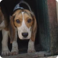 Beagle Dog for adoption in Transfer, Pennsylvania - Emma