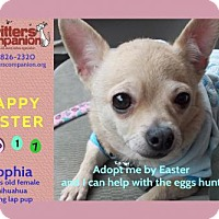 Chihuahua Dog for adoption in Abrams, Wisconsin - Sophia
