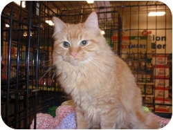 Domestic Longhair Cat for adoption in Loudonville, New York - Felice